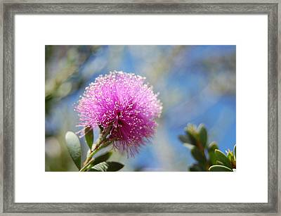 Purple Puff Framed Print by Jean Booth