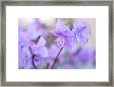 Framed Print featuring the photograph Purple Rhododendron 1. Spring Watercolors by Jenny Rainbow