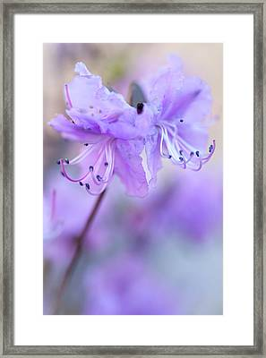Framed Print featuring the photograph Purple Rhododendron. Spring Watercolors by Jenny Rainbow