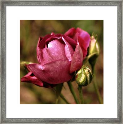 Purple Rose Framed Print by Cathie Tyler