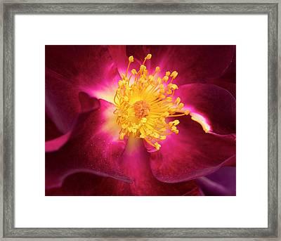 Purple Rose Closeup Framed Print by Jean Noren