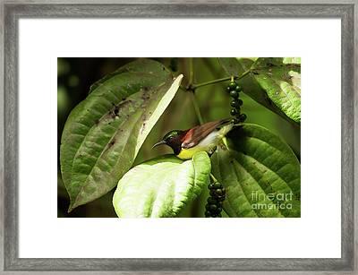 Purple-rumped Sunbird Framed Print by Venura Herath