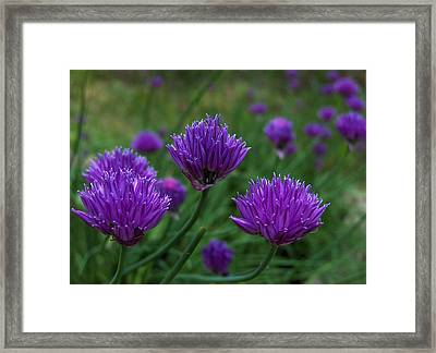 Purple Spice Framed Print by Shannon Gresham