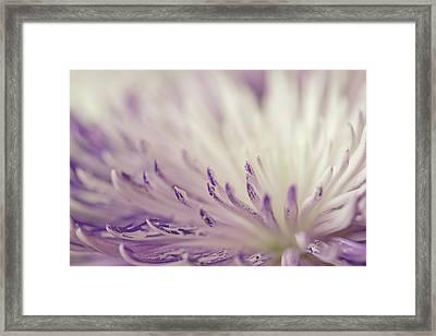 Purple Spider Mum Macro Framed Print