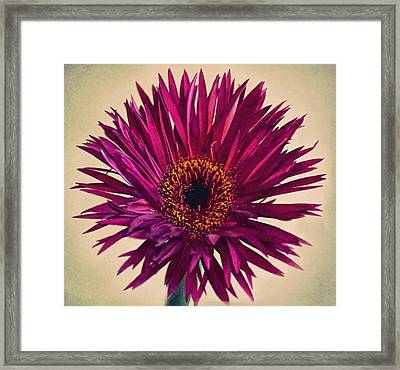 Purple Springs Spider Gerbera Daisy  Framed Print