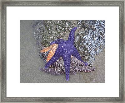 Framed Print featuring the photograph Purple Starfish by Angi Parks