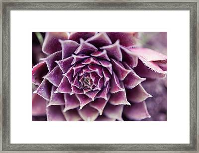 Purple Succulent Plant Blossom In Summer Framed Print