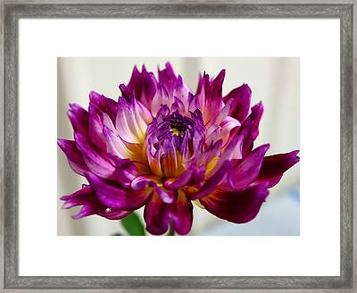 Framed Print featuring the photograph Purple Sunset Flower 1 by Marianne Dow