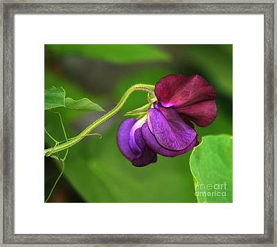 Purple Sweet Pea Framed Print by Marjorie Imbeau