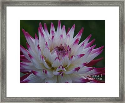 Purple Tipped Starburst Dahlia Framed Print by Patricia Strand