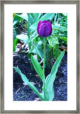 Purple Tulip Framed Print by David Houston