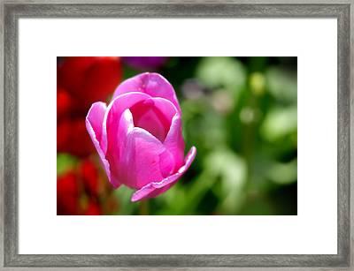 Purple Tulip Framed Print by Donald Schwartz