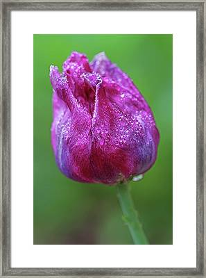 Purple Tulip Flower Framed Print by Juergen Roth