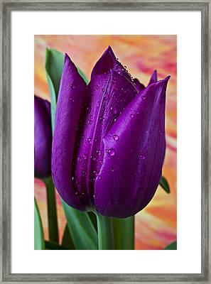 Purple Tulip Framed Print by Garry Gay