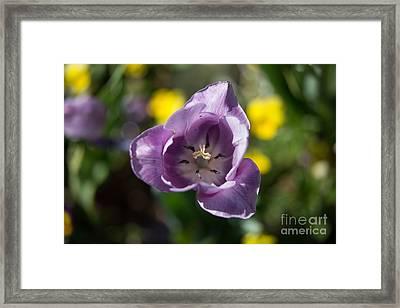 Purple Tulip Framed Print by John Roberts