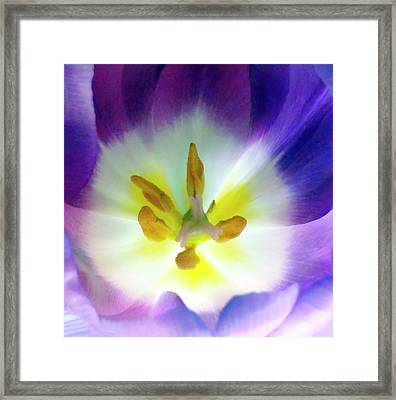 Purple Tulip Macro Framed Print