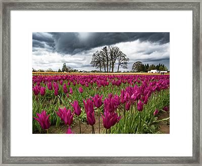Purple Tulip Rows Framed Print by Jean Noren