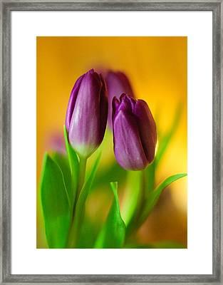 Purple Tulips Framed Print by Ahmed Hashim