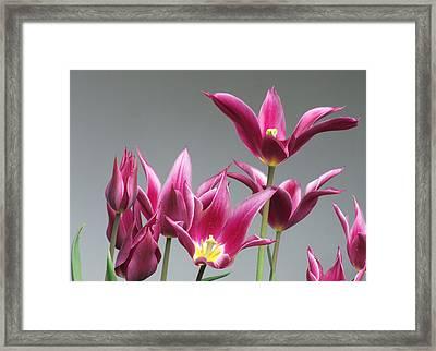 Purple Tulips Framed Print by Helen Northcott