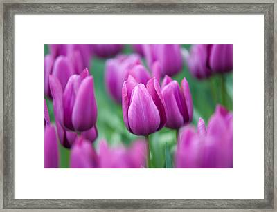 Purple Tulips Of Keukenhof Framed Print