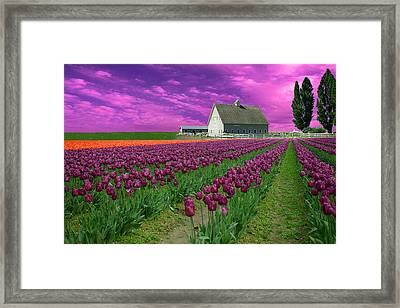 Purple Tulips With Pink Sky Framed Print