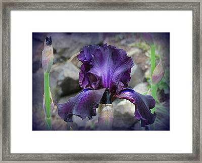 Purple Velvet Iris Framed Print by Katie Wing Vigil