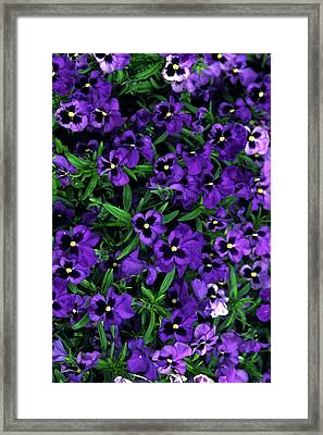 Purple Viola Flowers Framed Print by Sally Weigand