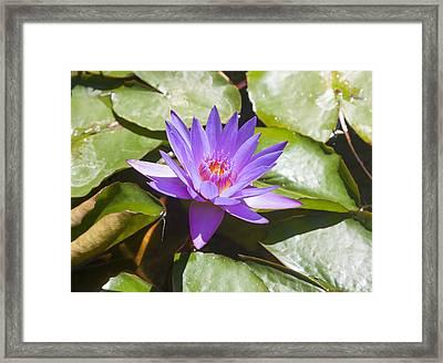 Purple Water Lilies Framed Print by Niel Morley