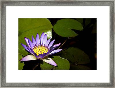 Purple Water Lilly Framed Print