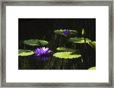 Purple Water Lily Framed Print by Lindley Johnson