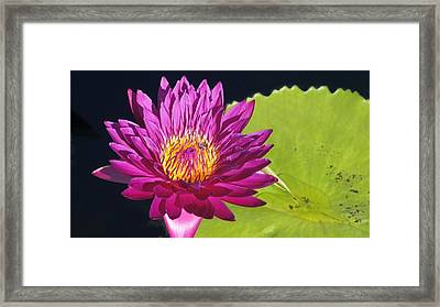 Purple Water Lily Framed Print by Mark Holden
