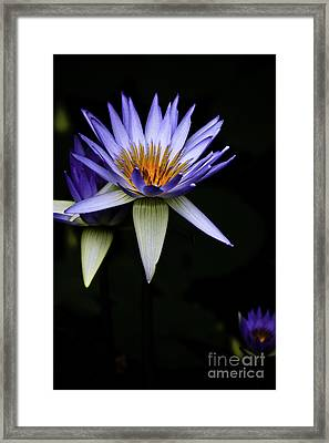 Purple Waterlily Framed Print by Avalon Fine Art Photography
