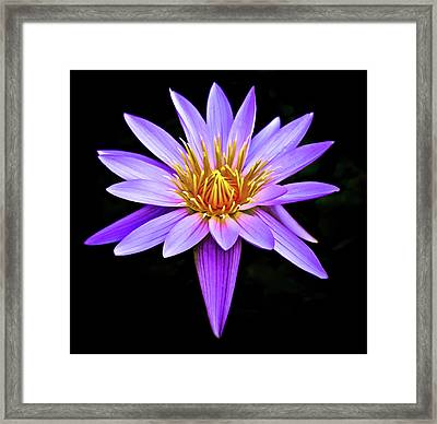 Purple Waterlily With Golden Heart Framed Print by Venetia Featherstone-Witty