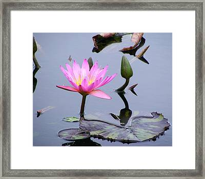 Framed Print featuring the photograph Purple Waterlily With Pod by Margie Avellino