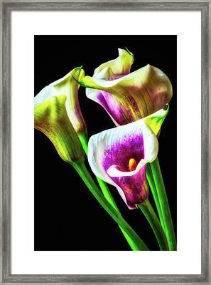 Purple White Glowing Calla Lilies Framed Print