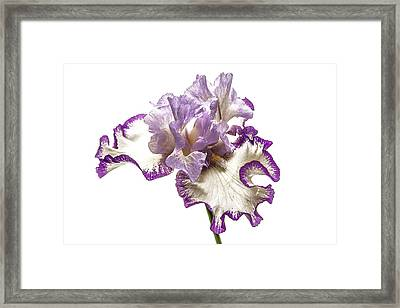 Purple White Iris Framed Print