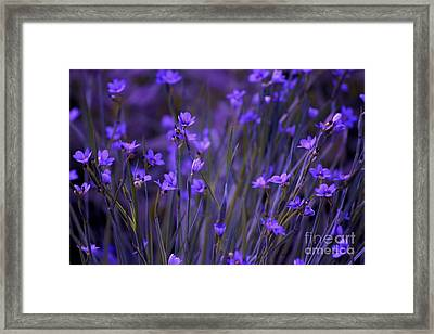 Purple Wildflowers In A Field Framed Print by Marjorie Imbeau
