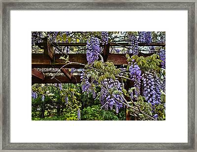 Purple Wisteria On Pergola Framed Print