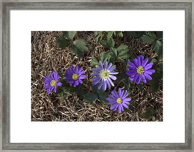 Purple Yard Flowers Framed Print by Liz Allyn