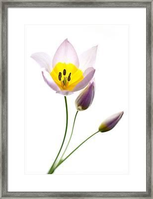 Purple Yellow Tulip 2 Framed Print by Rebecca Cozart