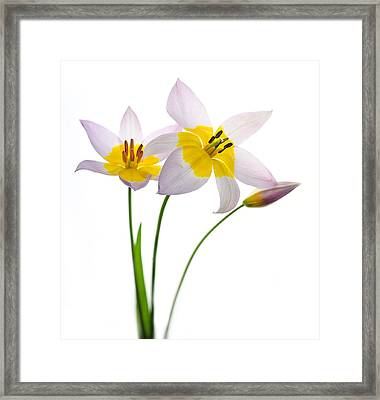 Purple Yellow Tulips 1 Framed Print by Rebecca Cozart