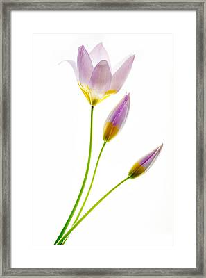 Purple Yellow Tulips 3 Framed Print by Rebecca Cozart