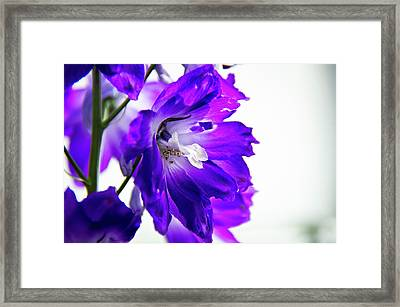 Purpled Framed Print