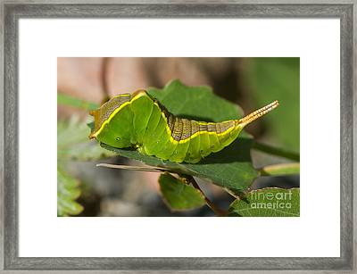 Puss Moth Caterpillar Framed Print by Steen Drozd Lund