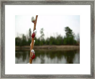 Framed Print featuring the photograph Pussy Willow Buds by Kent Lorentzen