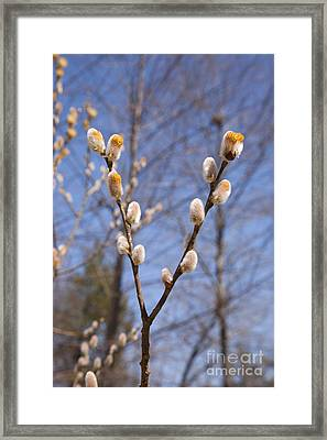 Pussy Willow Framed Print by Erin Paul Donovan