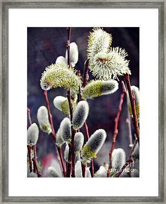 Pussy Willow Spring  Framed Print