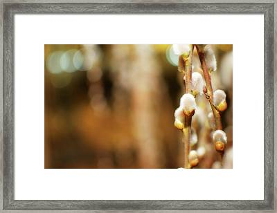 Pussy Willows Framed Print by Lisa Knechtel