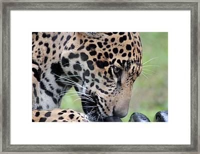 Jaguar And Toy Framed Print