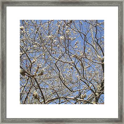 Pussywillows Bursting To Life Framed Print